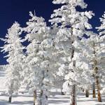 Snow-Clad-Trees